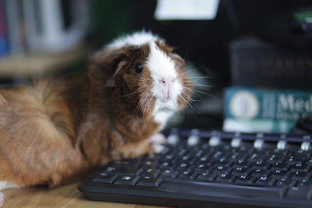 guinea pig working from home on his laptop