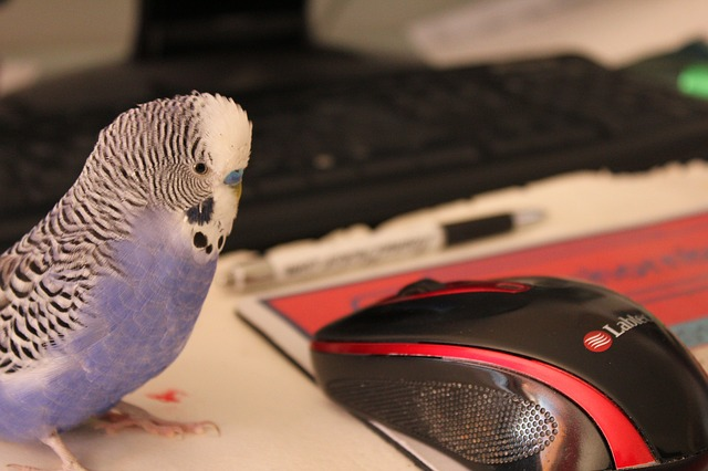 budgie contemplating his tasks for the day while resting on a computer mouse